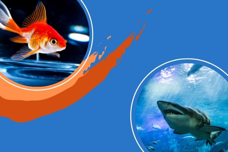 shark-goldfish